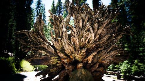 Free stock photo of dead tree, fallen tree, forrest, tree trunk