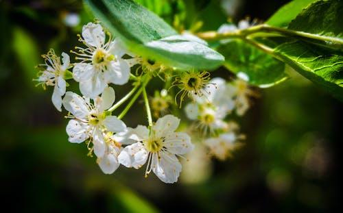 Fotobanka sbezplatnými fotkami na tému biely kvet, detailný záber, flóra, kvet ovocného stromu