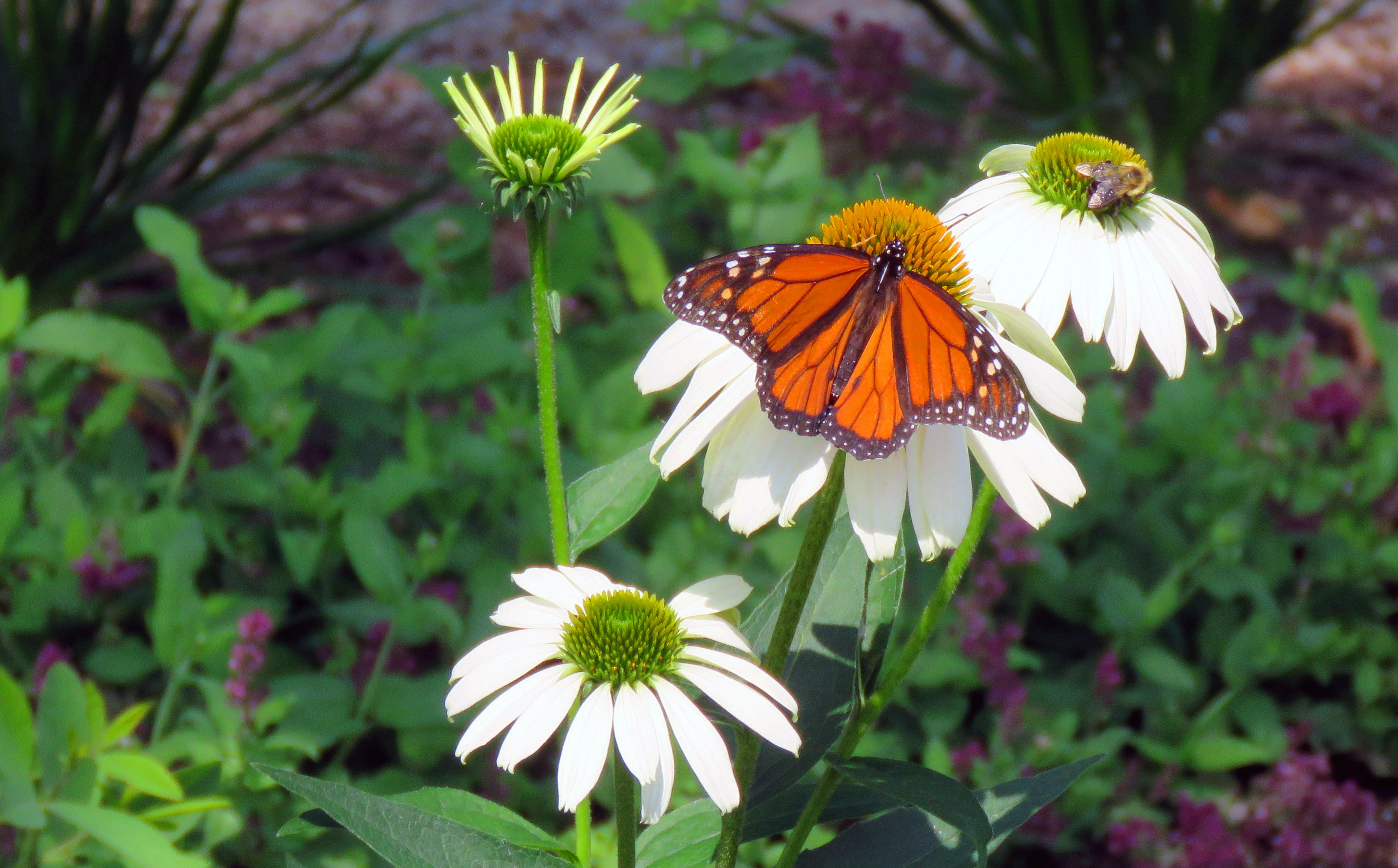 Free stock photo of bee, Butterfly and a bee, butterfly on a flower, coexist