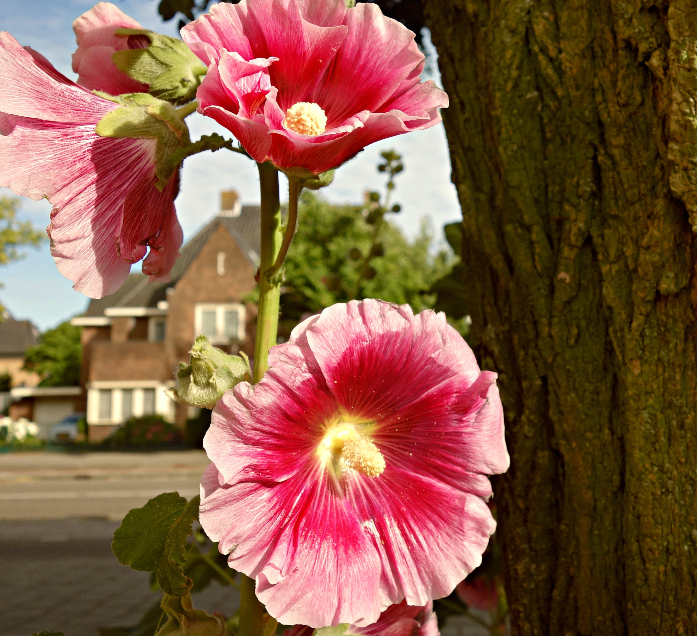 of alcea, bloom, common hollyhock, flower
