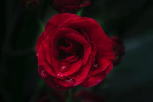 微妙, 植物群, 漂亮, 紅玫瑰 的 免费素材照片