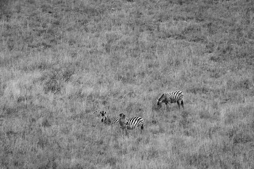 Foto d'estoc gratuïta de animals, blanc i negre, fotografia d'animals, herba