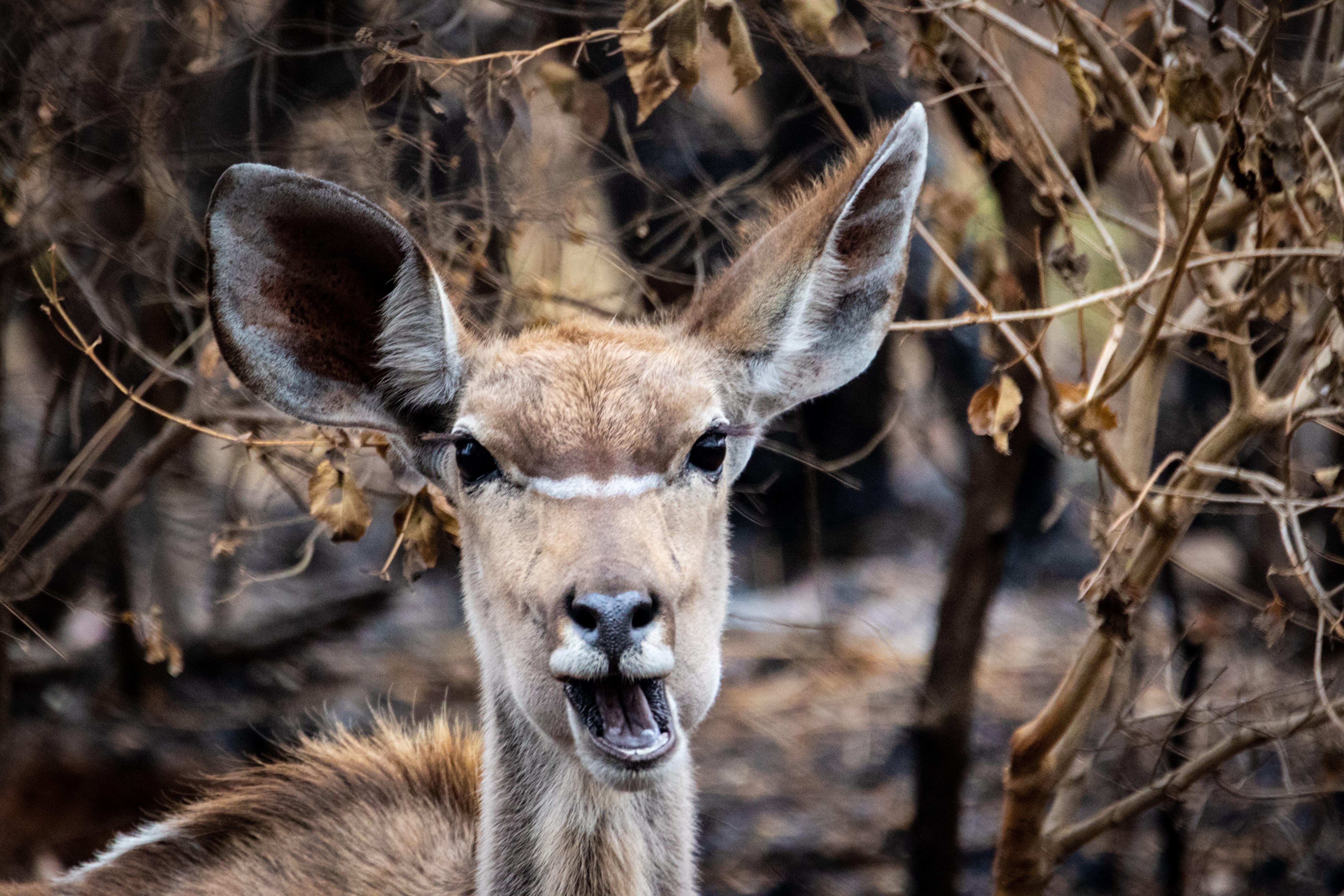 Kostenloses Stock Foto zu antilope, bauernhof, bock, hirsch