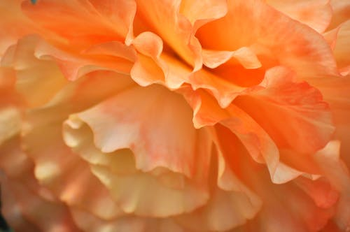 Free stock photo of beautiful flowers, begonia, mother nature, peach