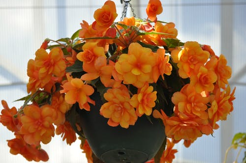 Free stock photo of beautiful flowers, begonia, mother nature, pot plant