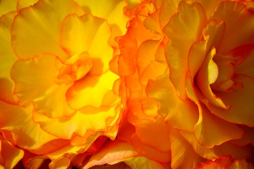 Free stock photo of beautiful flowers, begonia, mother nature, yellow