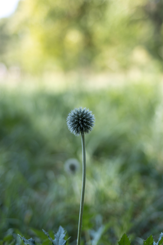 Kostenloses Stock Foto zu blume, distel, natur