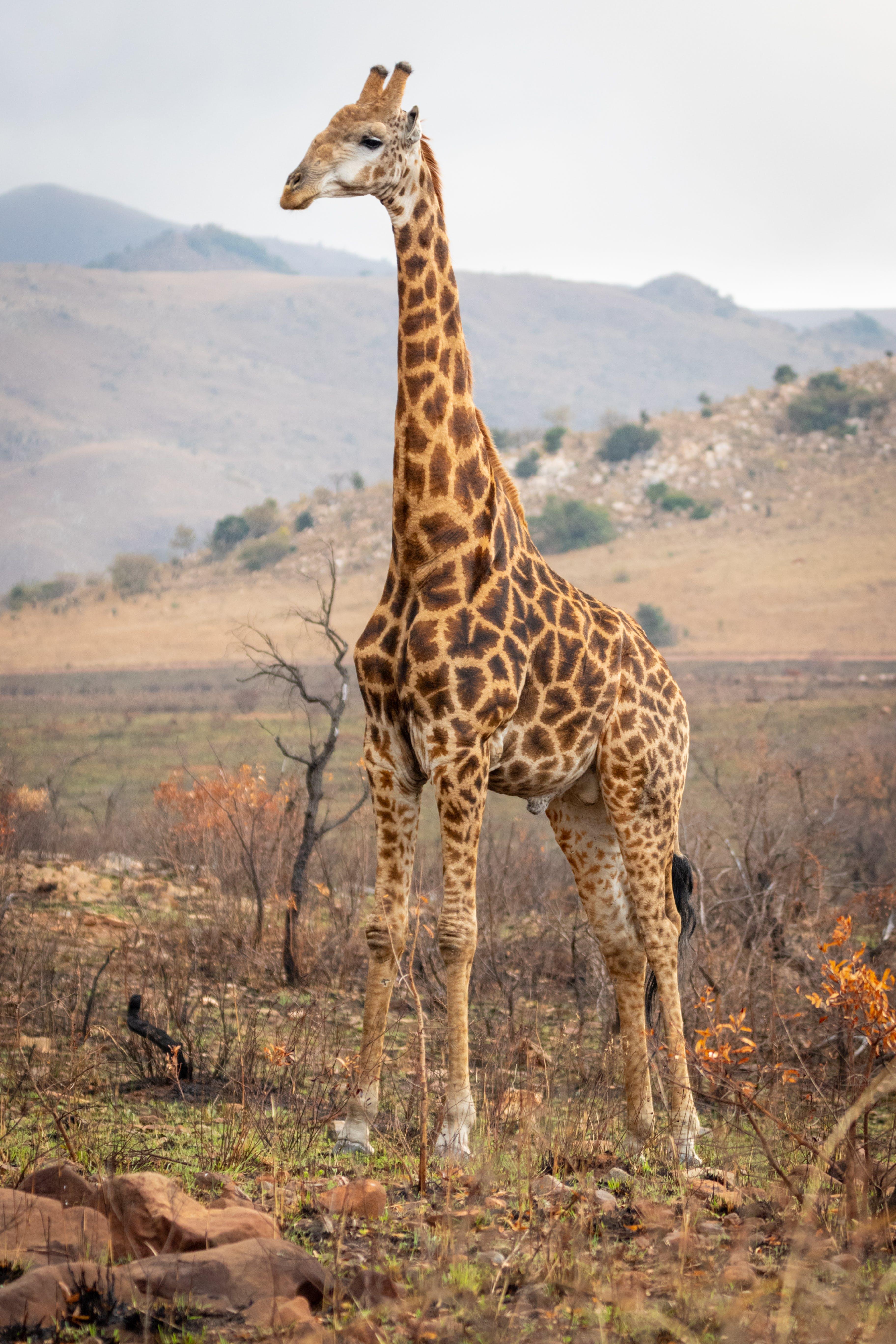 Photograph of Giraffe