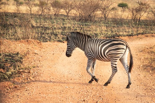 Wildlife Photography of Zebra Walking Across Pathway