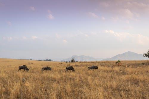alan, bizon, bozkır, bufalolar içeren Ücretsiz stok fotoğraf