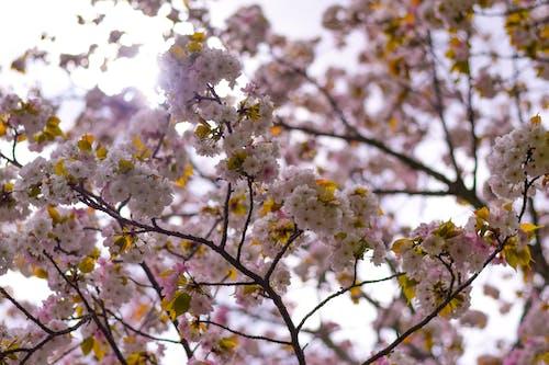 Fotos de stock gratuitas de flor, flor rosa, Flores rosadas, Japón