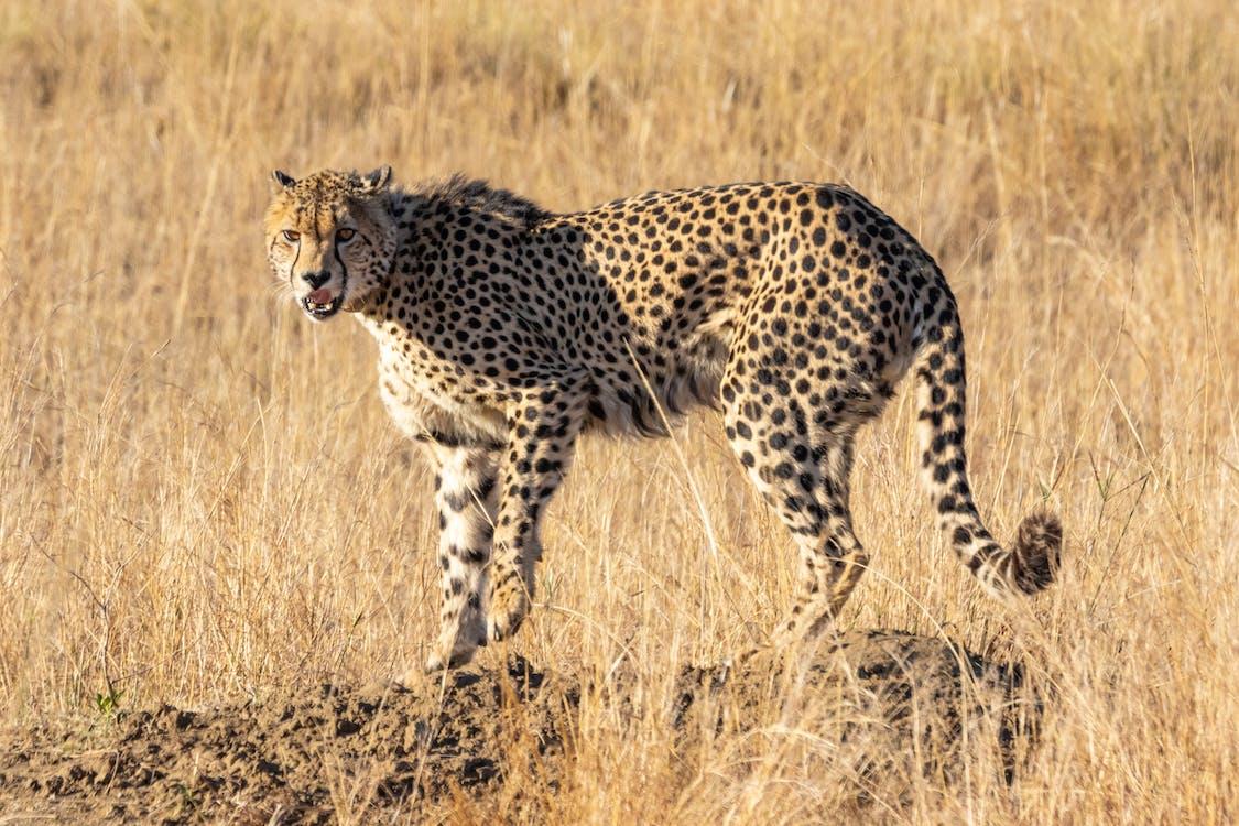 большой кот, гепард, дикая кошка