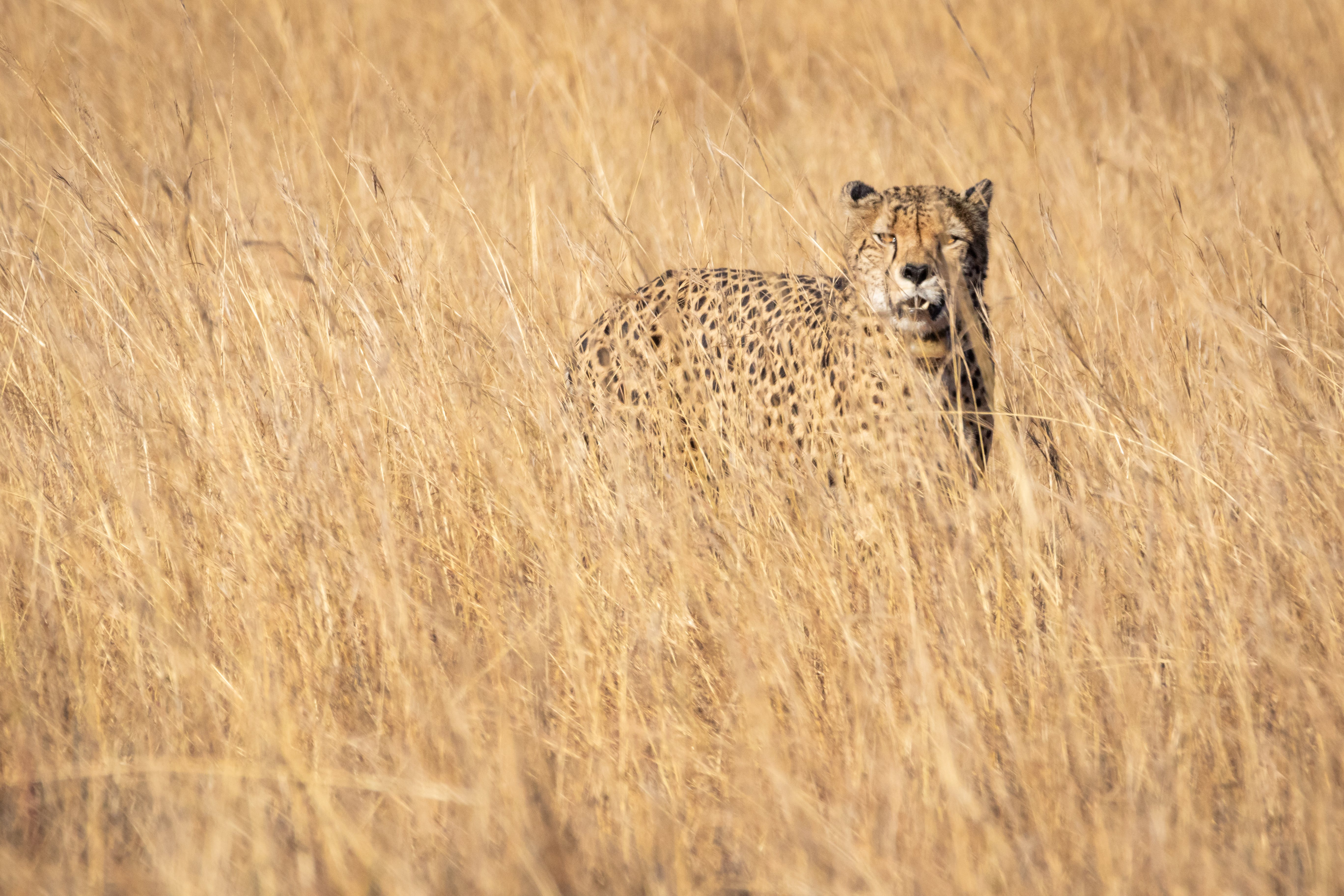 Cheetah On Grass Field