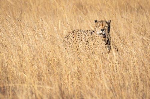 動物, 動物攝影, 南非, 危險 的 免費圖庫相片