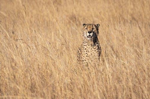 Cheetah Standing on Grasses