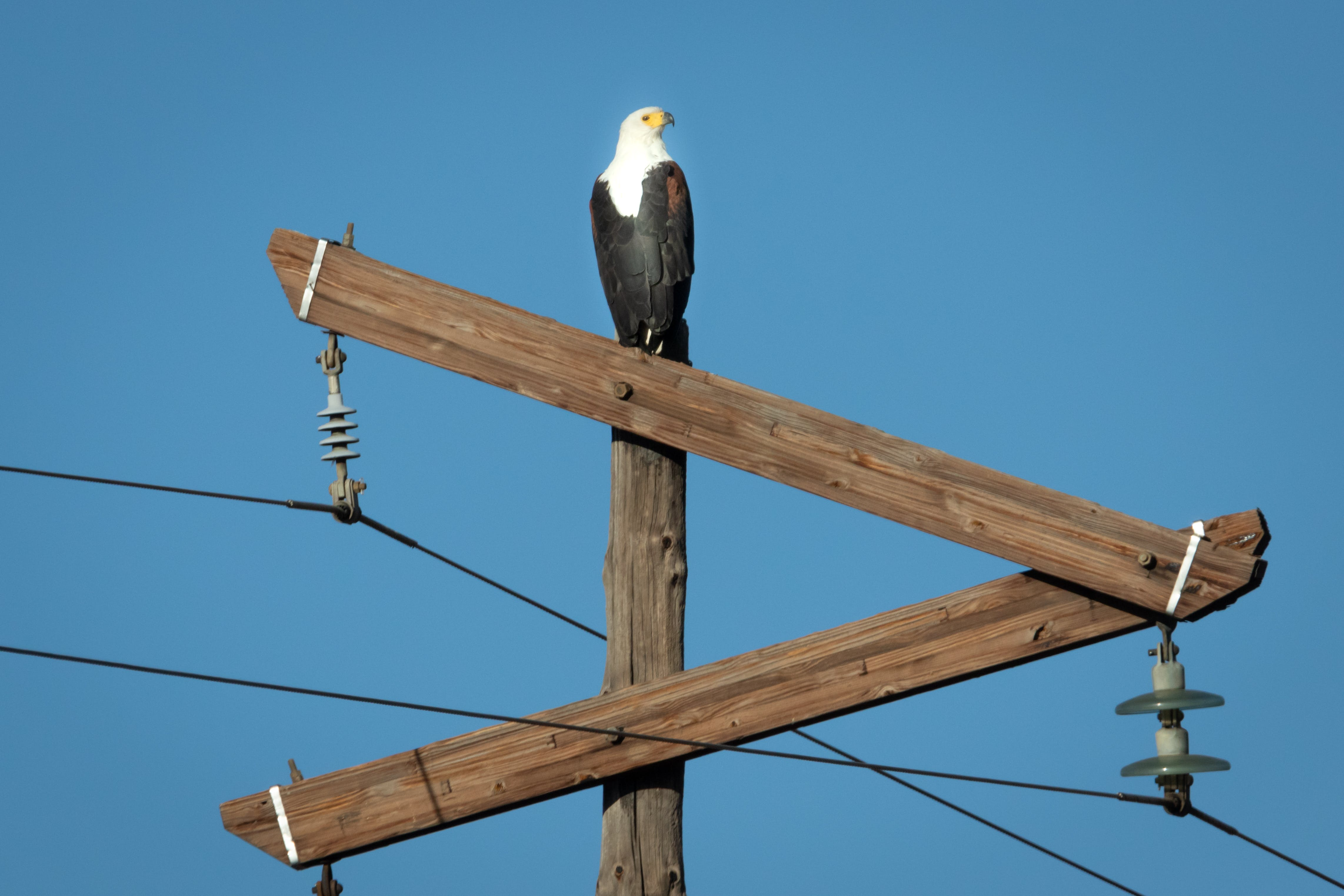 Free stock photo of nature, bird, eagle, fly