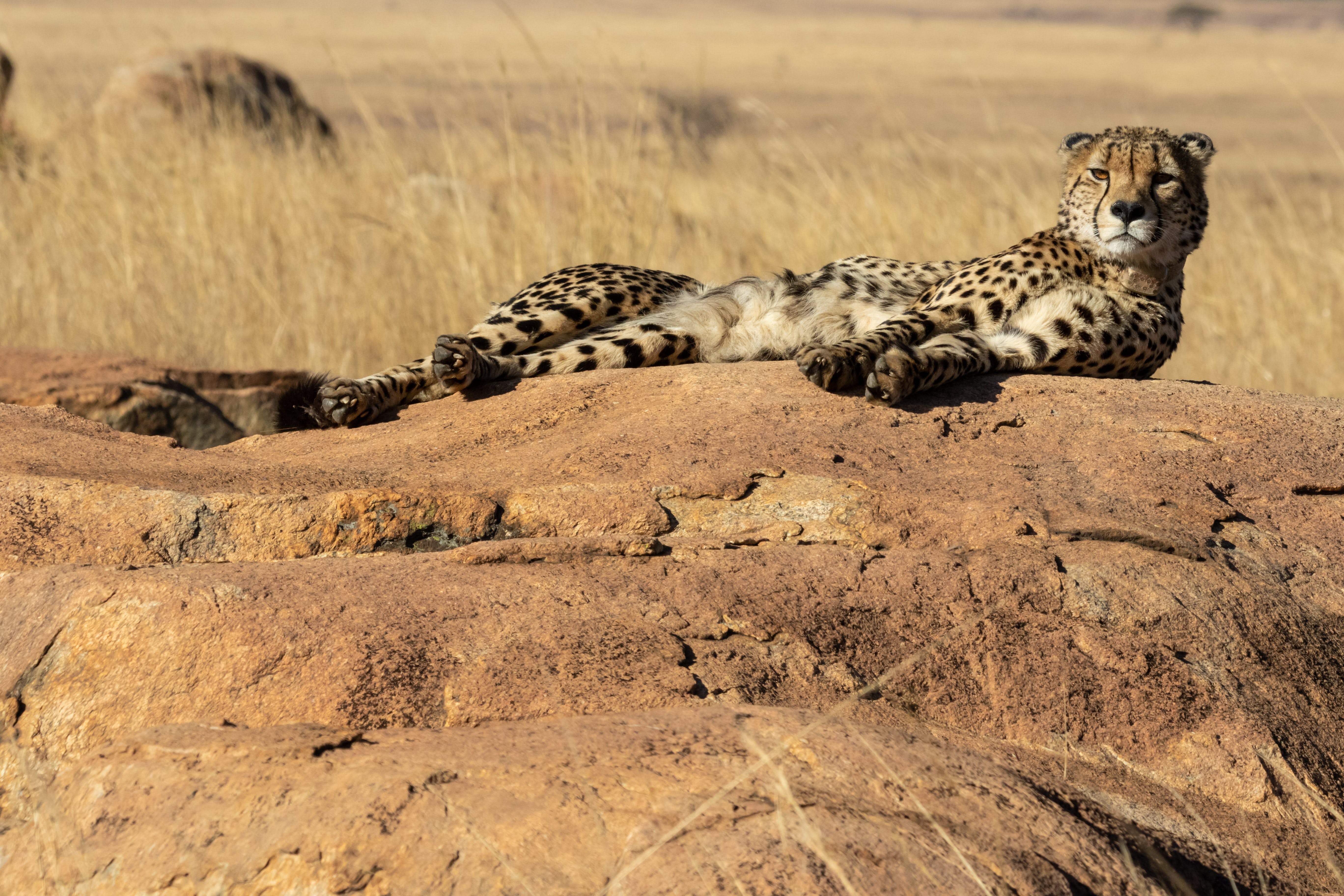 Wildlife Photography Of Cheetah Lying On Boulder