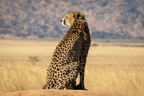 Selective Focus Photograph Of Cheetah