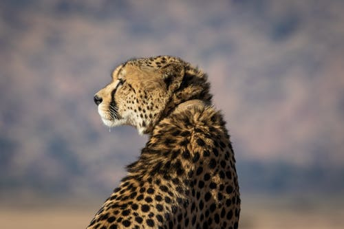 Selective-focus Photography of Brown and Black Cheetah