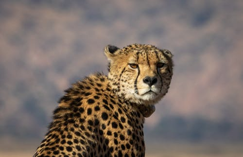 Shallow Focus Photography of Cheetah