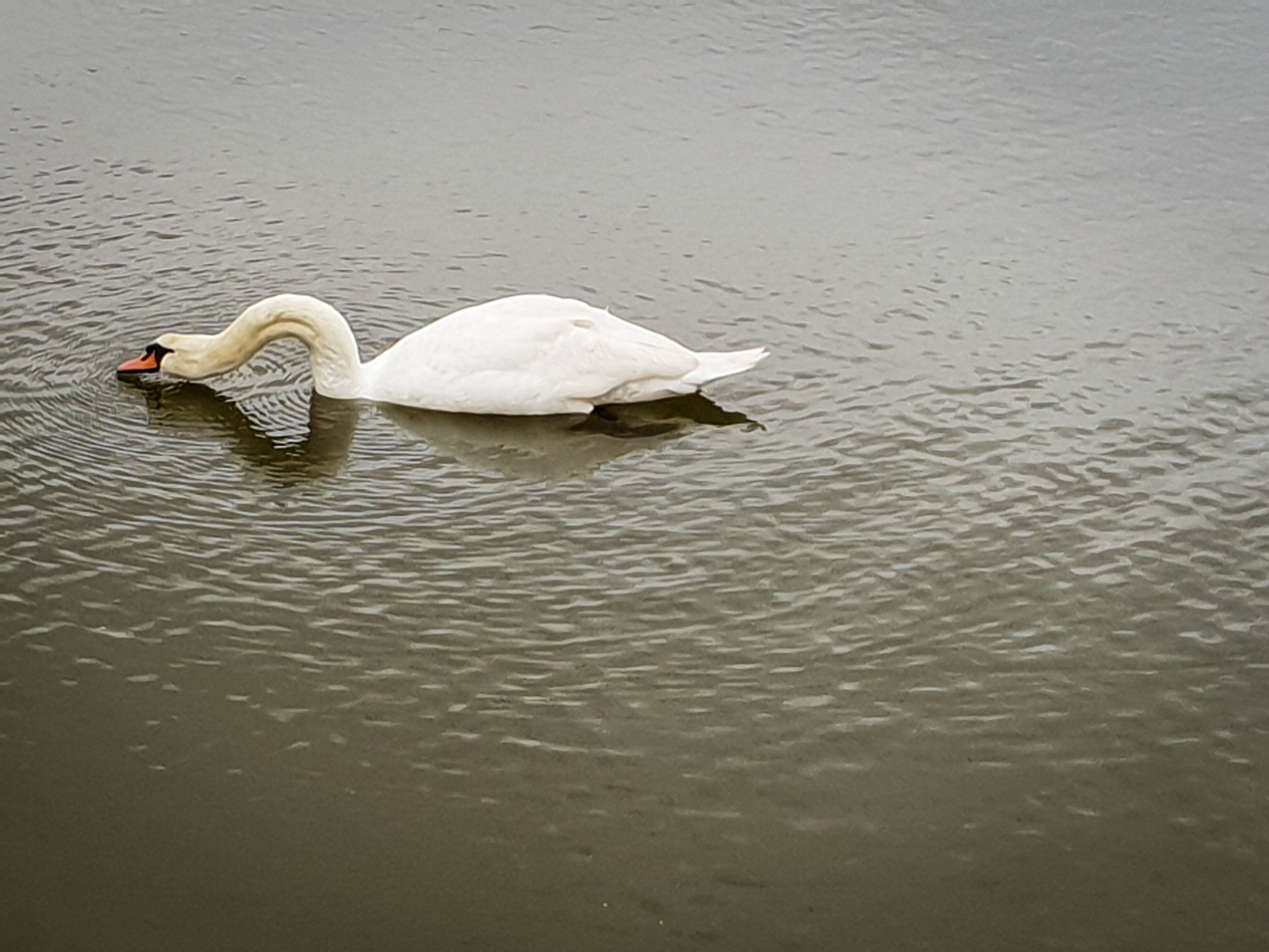 Free stock photo of nature, pond, swan, water