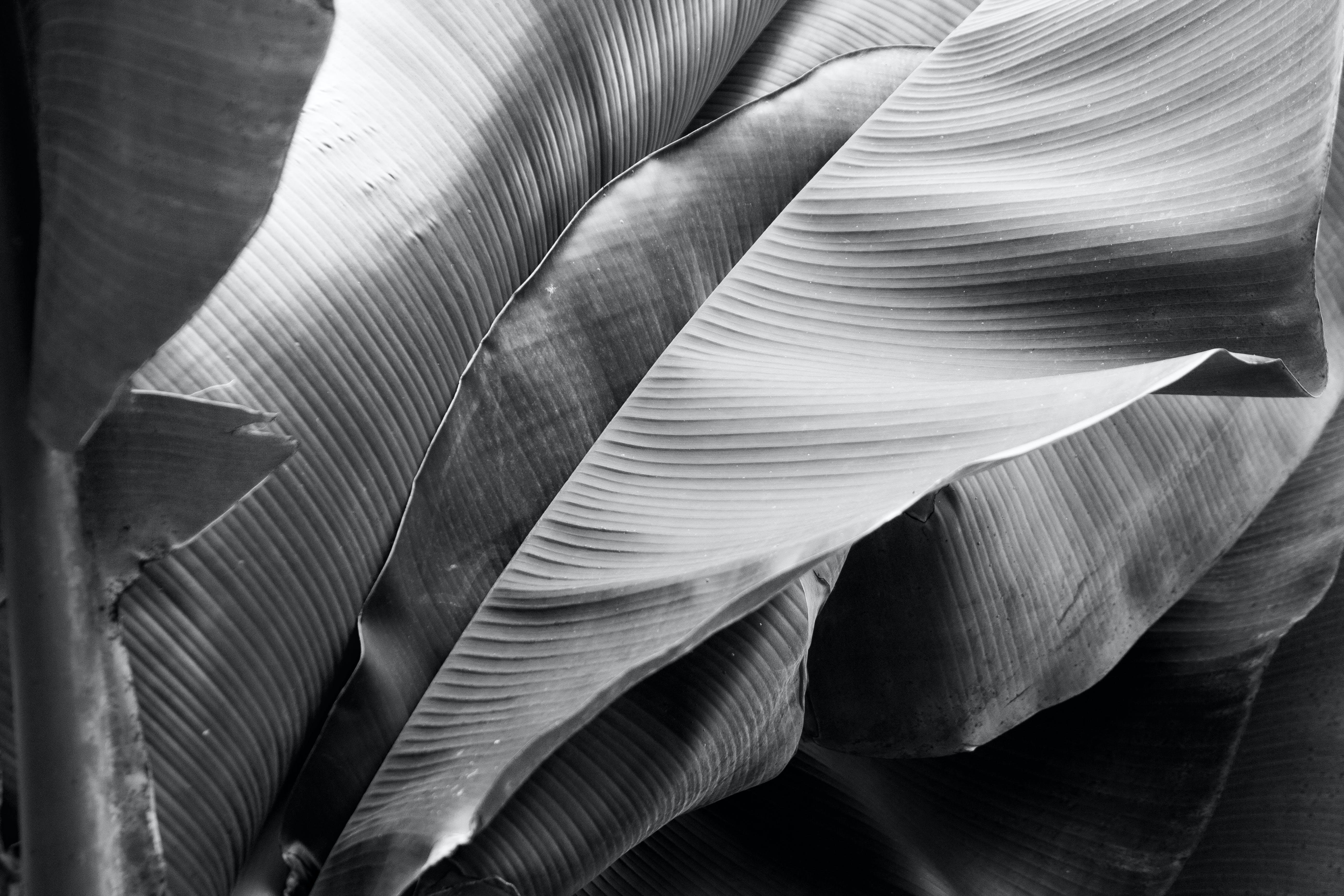 Grayscale Photo of Banana Leaf