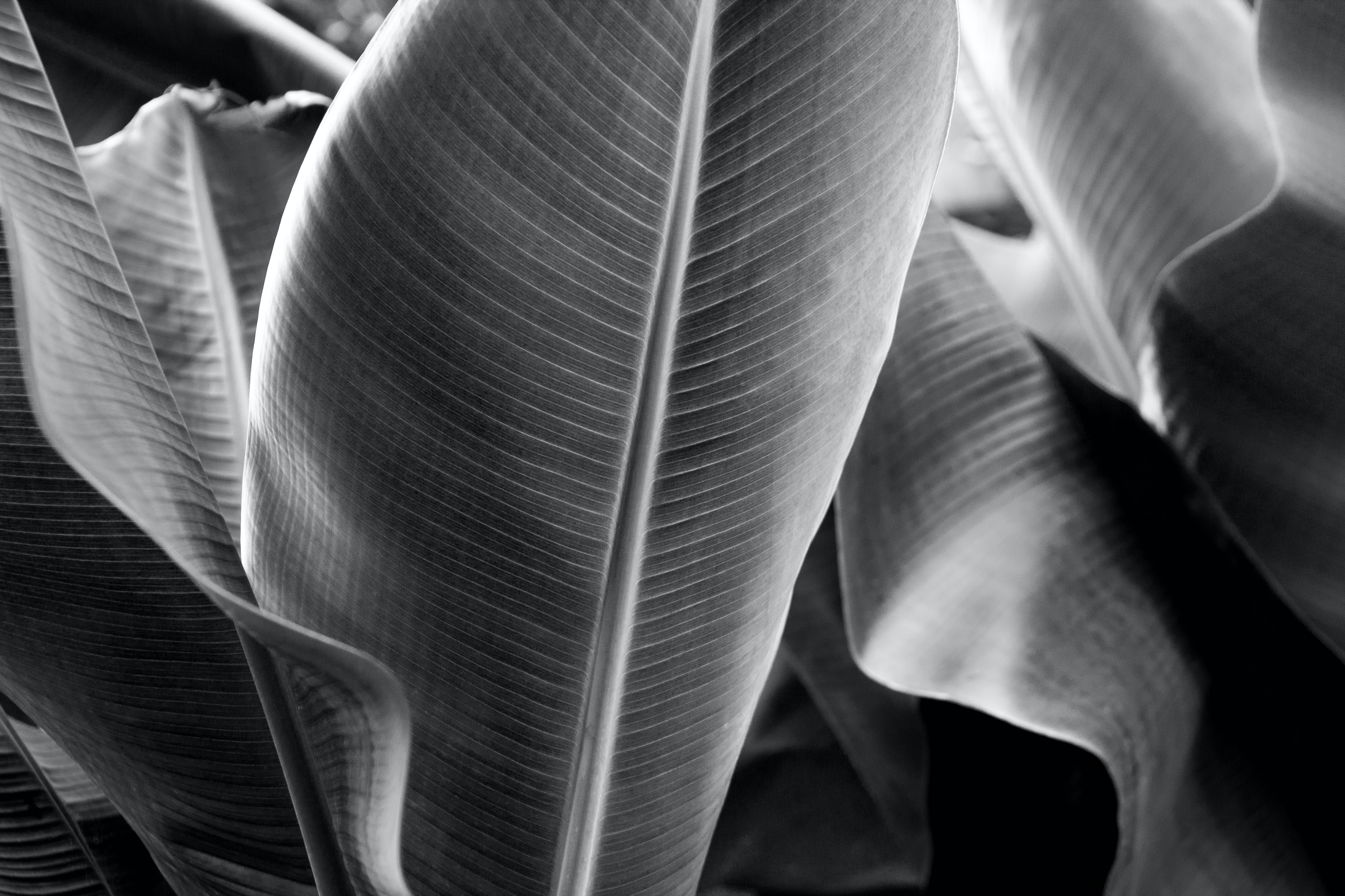 Greyscale Photography of Banana Trees