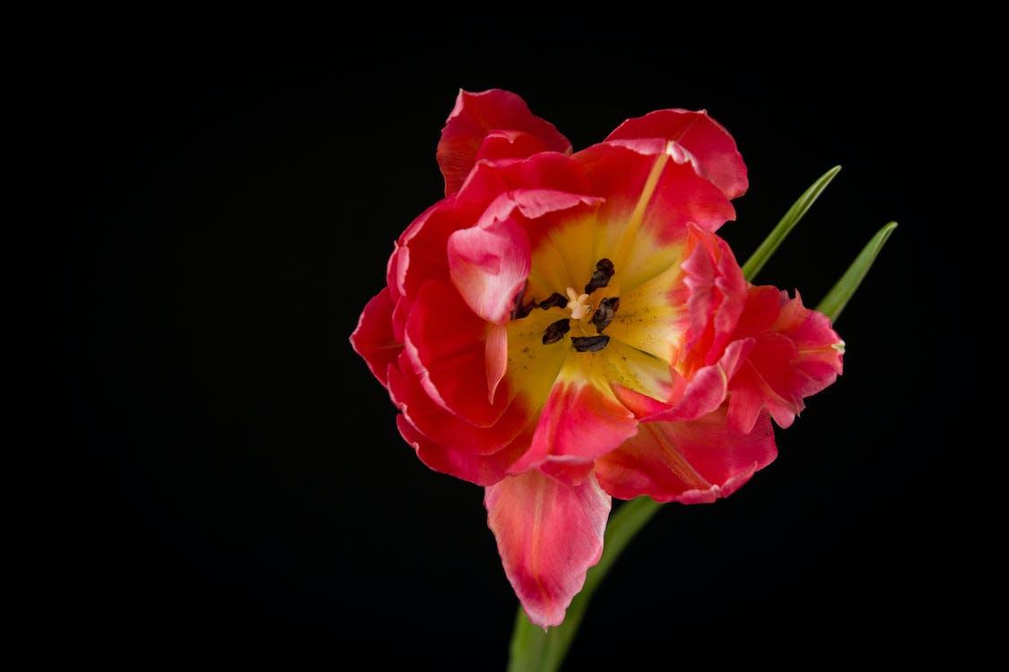 blommor på svart, minimalistisk, rosa blommor