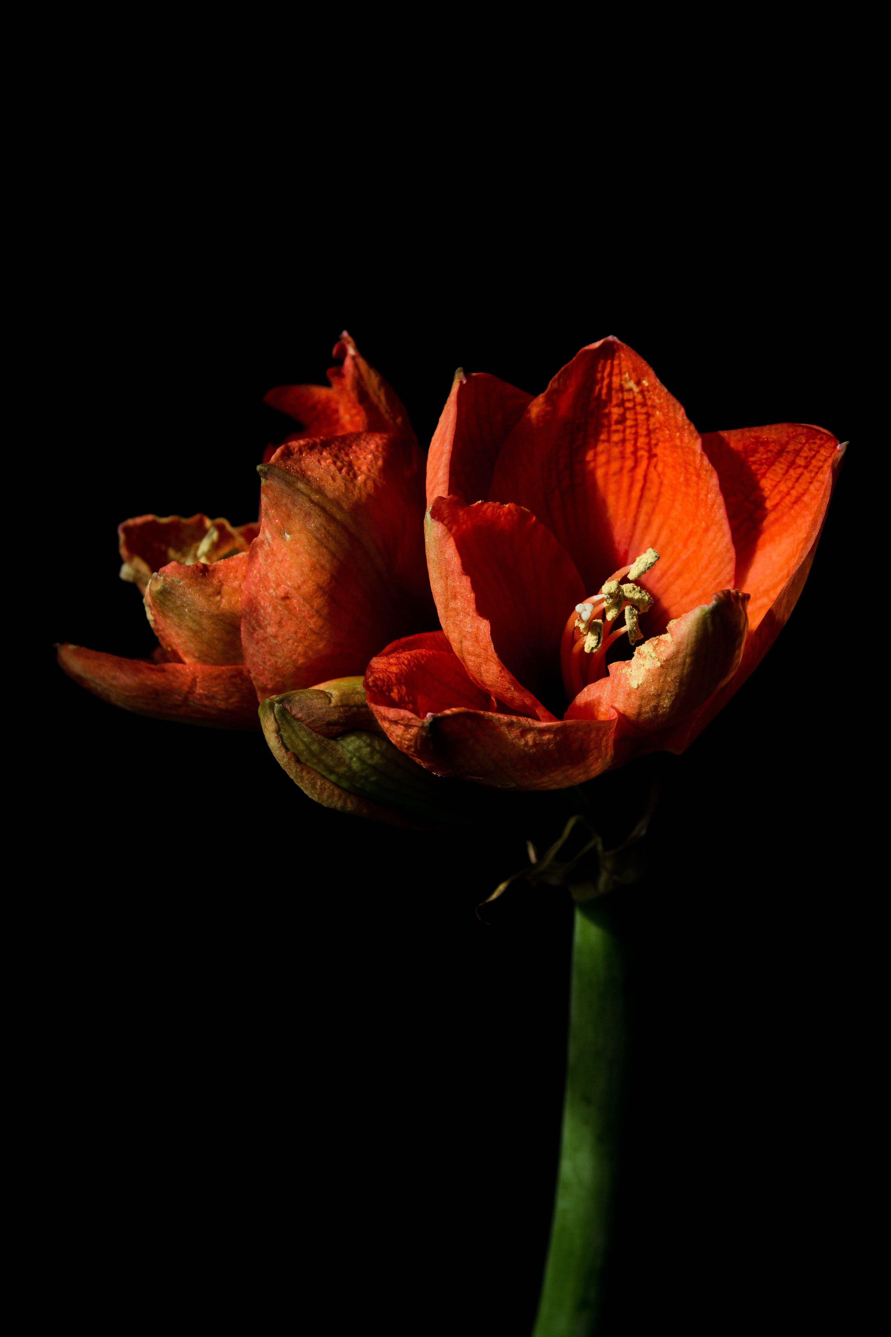 Free stock photo of amaryllis, flowers on black, minimalistic, red flower