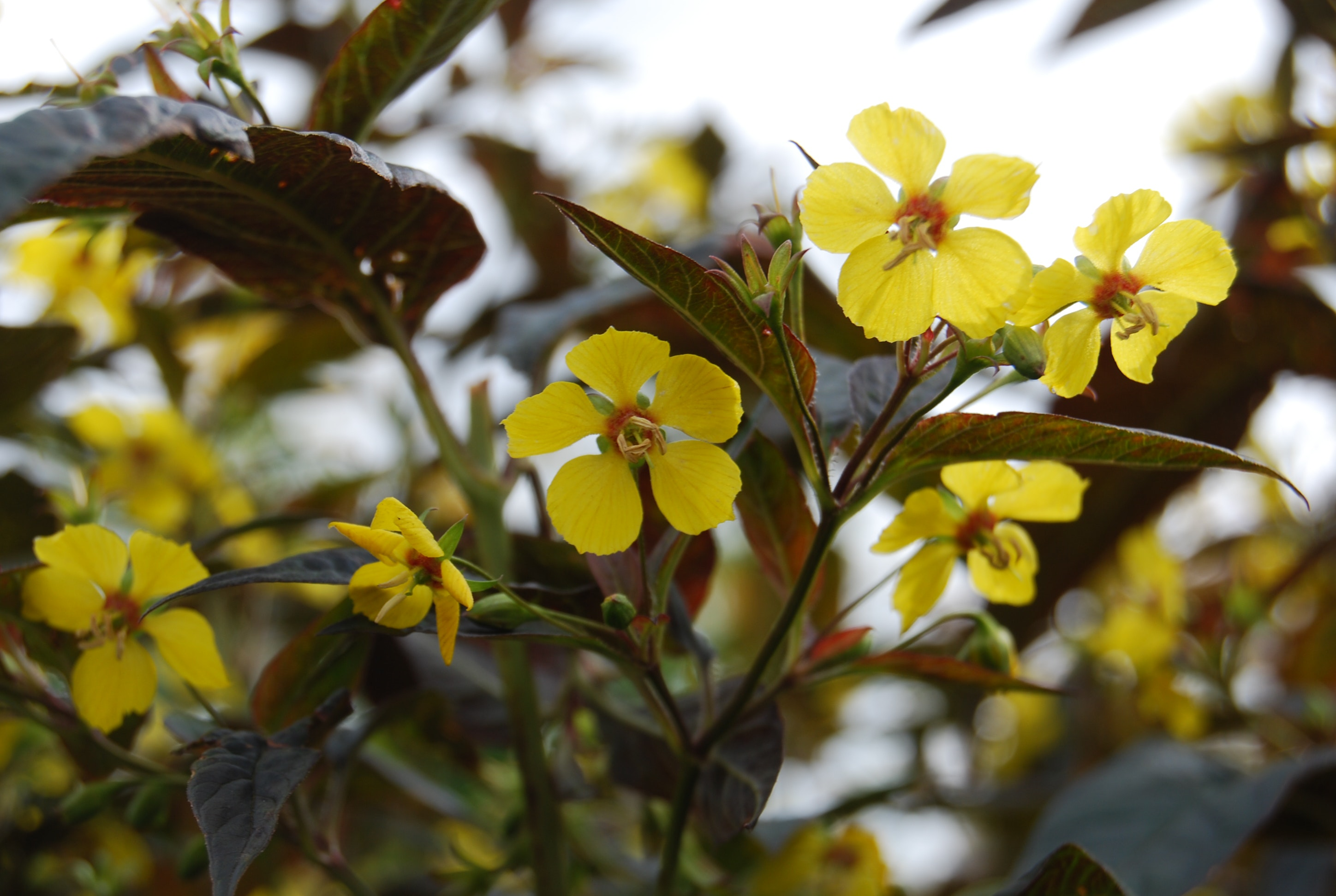 Free Stock Photo Of Leaves Yellow Flowers