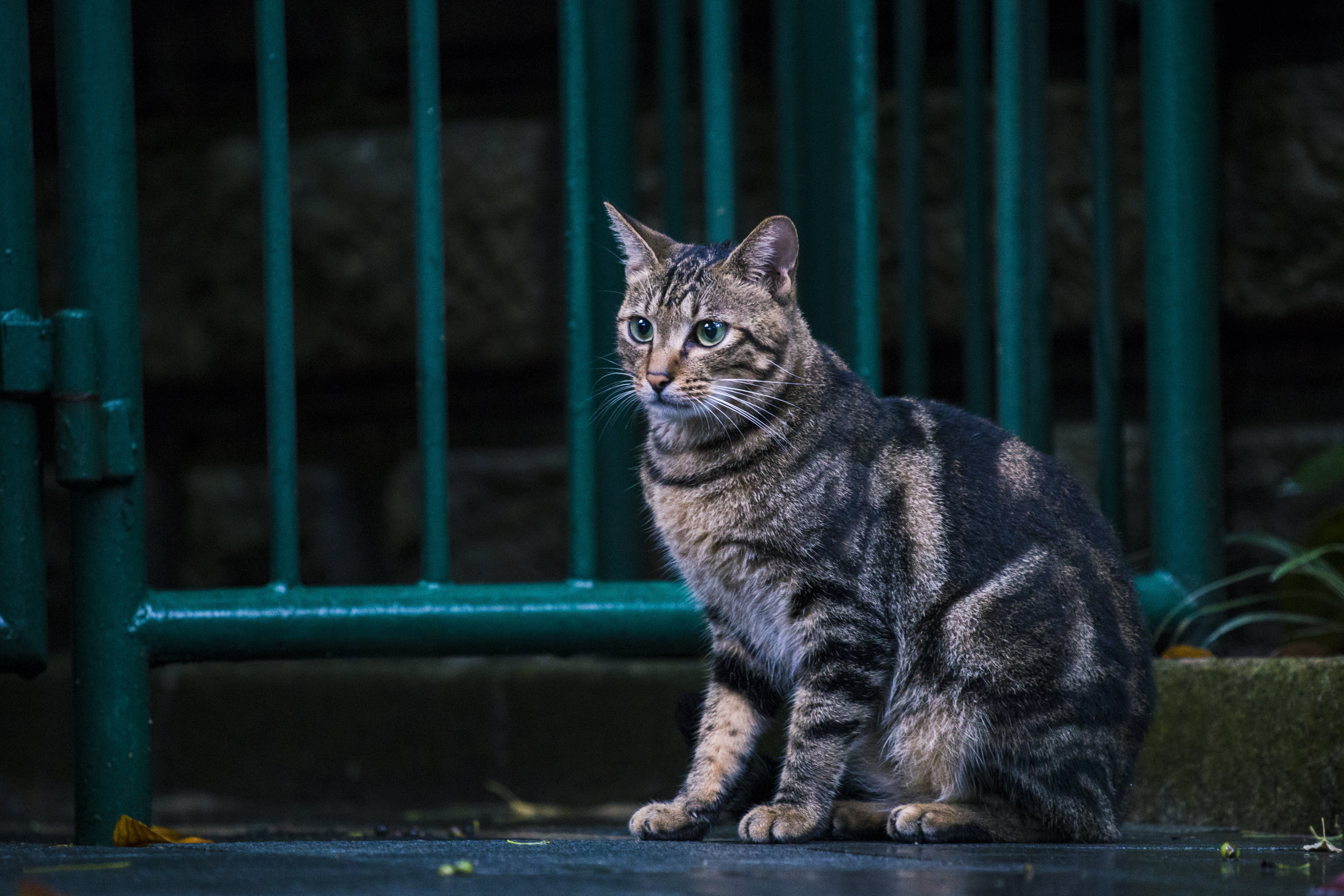 Brown Tabby Cat Sitting Near Steel Gate Outdoors