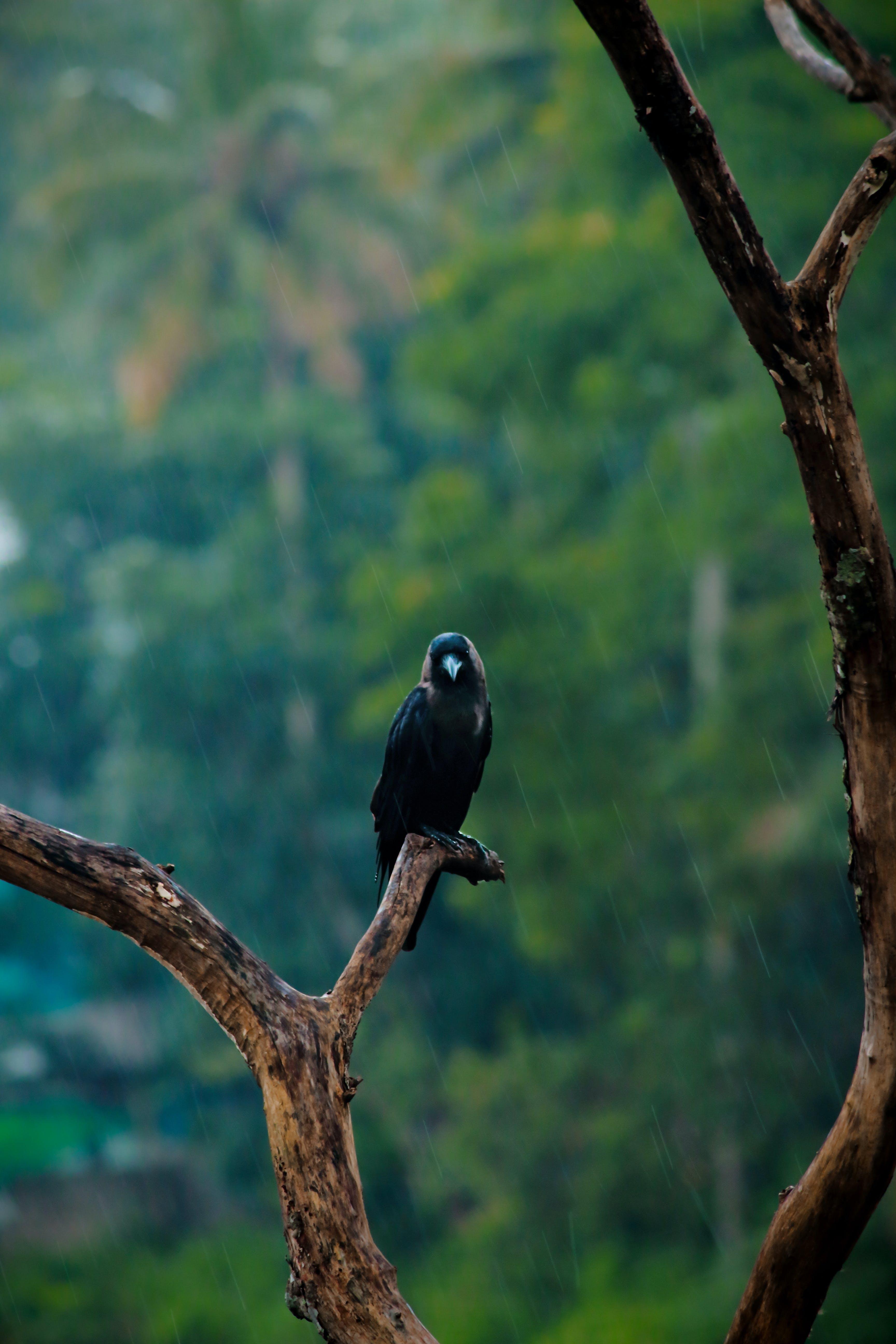 Free stock photo of alone, bird, black, crow