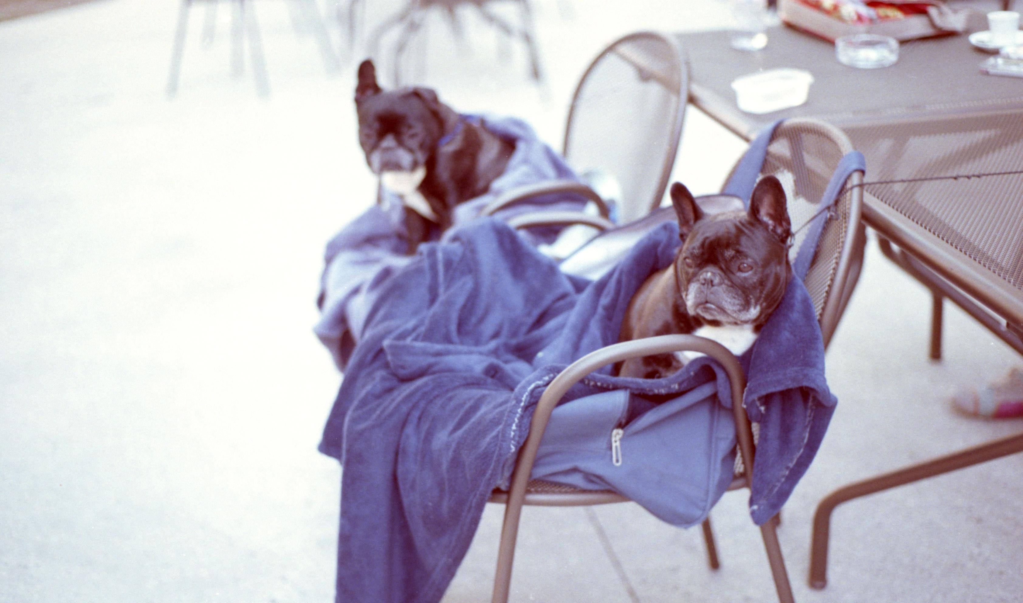 Two Black Dogs On Chairs