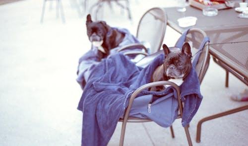 Foto d'estoc gratuïta de animals, animals domèstics, bufó, cadires