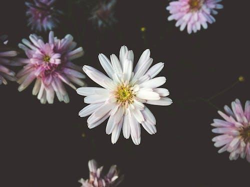 꽃에 흰색과 분홍색 꽃잎 꽃