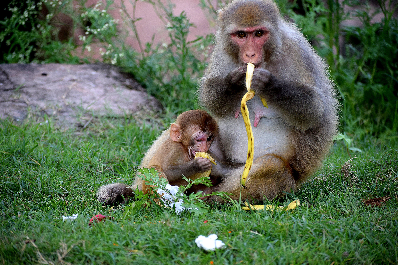 サル, マカク, 座る, 野生動物の無料の写真素材