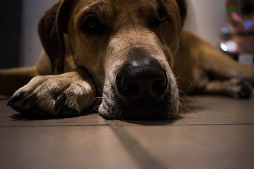 Foto d'estoc gratuïta de cara de gos, gos, gos dormint, gos mal humor
