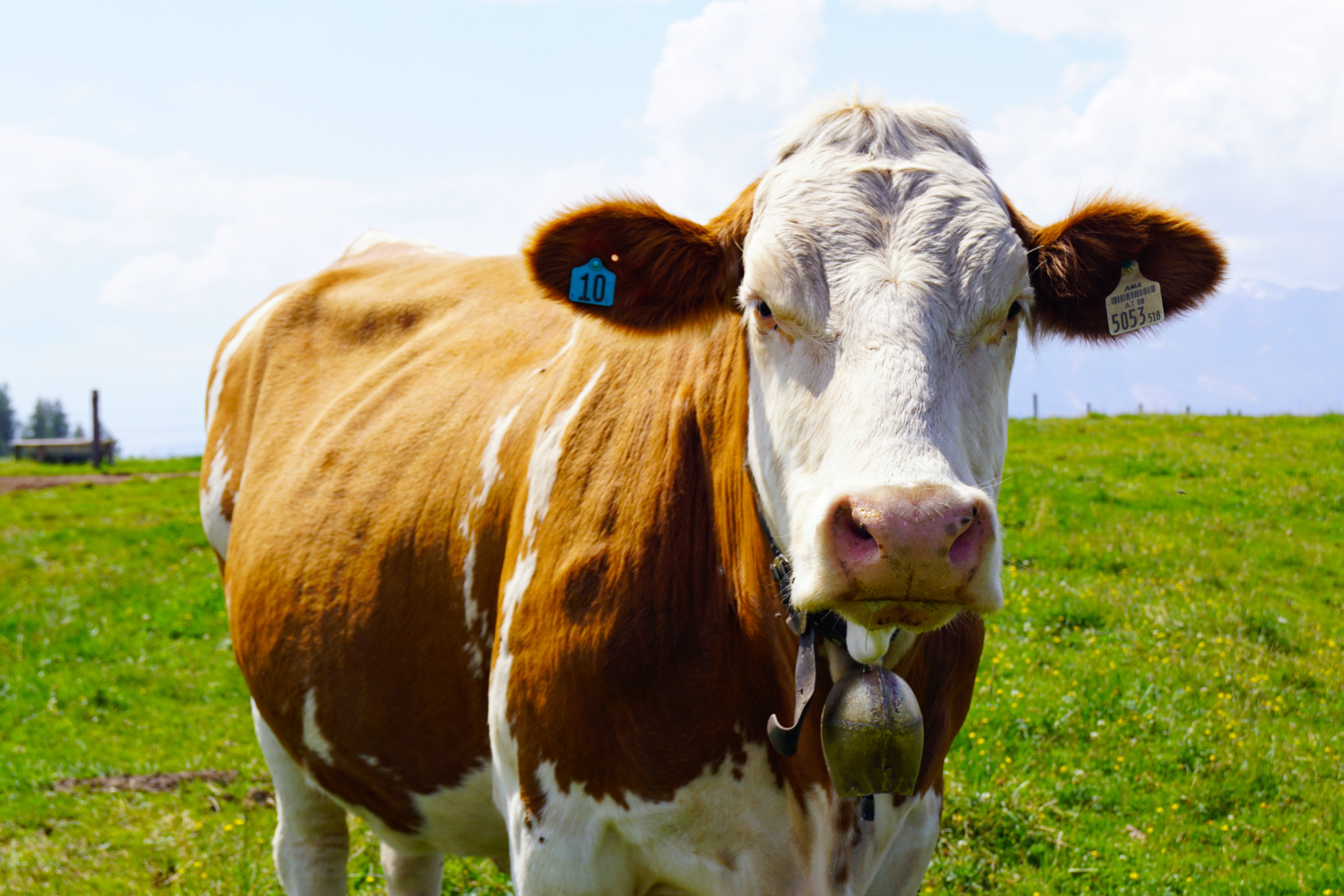 Brown and White Cow Outdoors