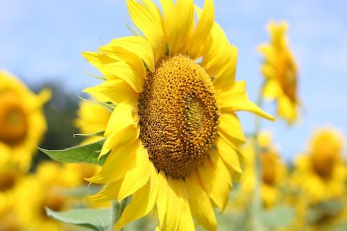 Ilmainen kuvapankkikuva tunnisteilla auringonkukka kukinta kukka kenttä kasvisto kukka