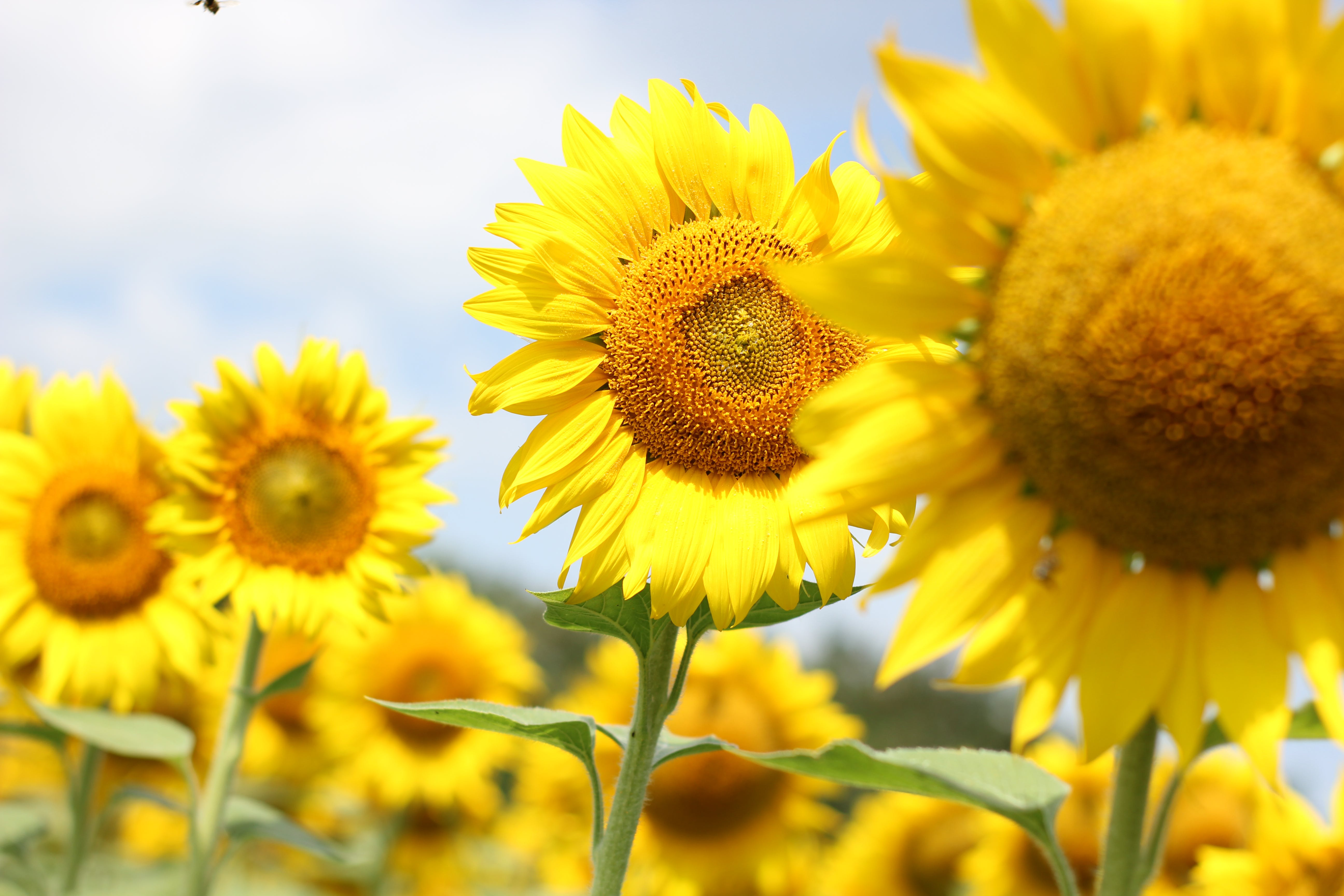 Shallow Focus Photo Of Sunflowers