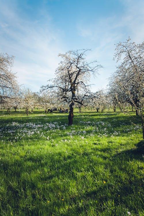 Photos gratuites de arbres, branches, centrales, champ