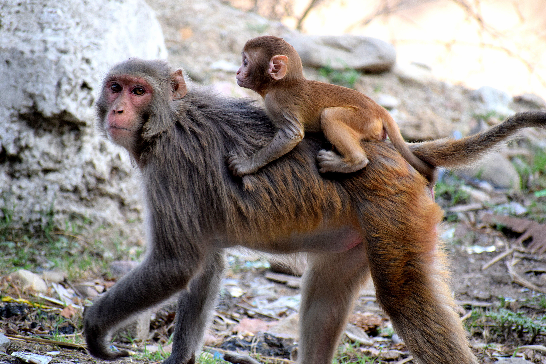 Foto d'estoc gratuïta de animals, jungla, macaco, micos