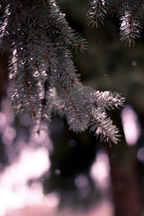 Free stock photo of branch, fir, green