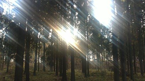 Gratis lagerfoto af lys, pin, solrig, træ