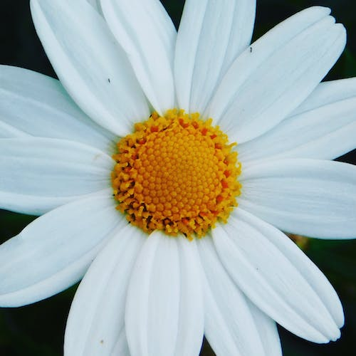 Free stock photo of beautiful flowers, daisy, flower