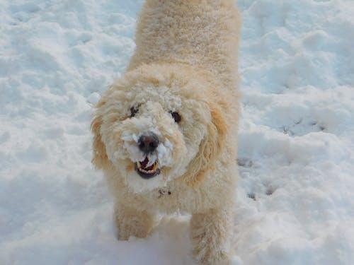 Foto stok gratis anjing, anjing air spanyol, salju