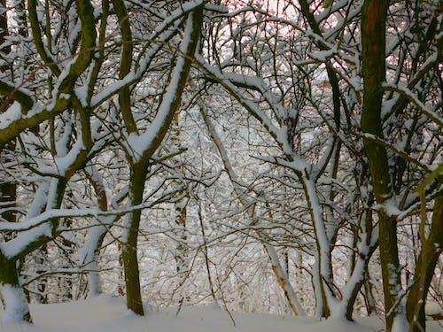 Foto stok gratis musim dingin, pohon, salju