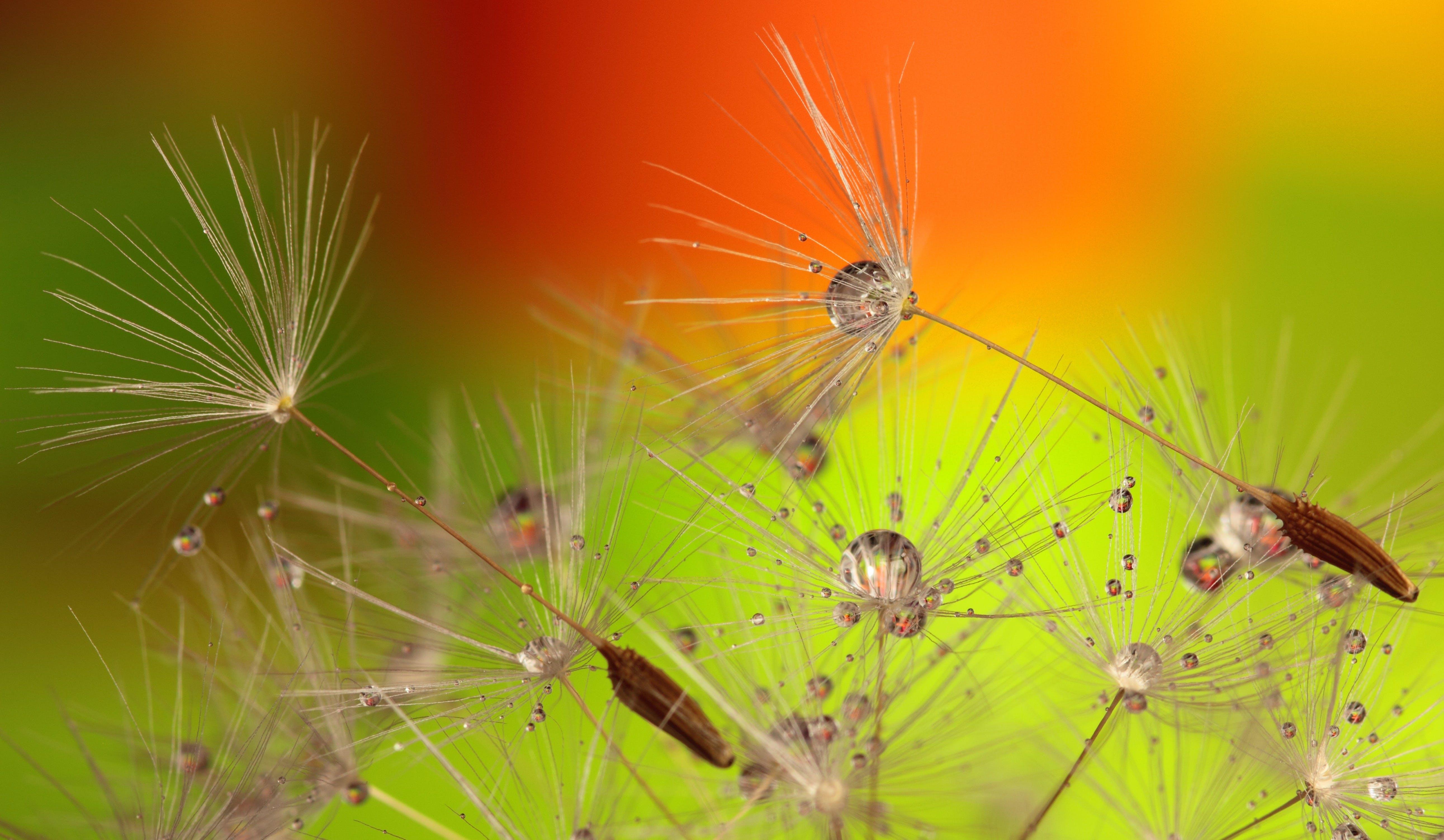 Foto d'estoc gratuïta de dent de lleó, flor, flora, florir