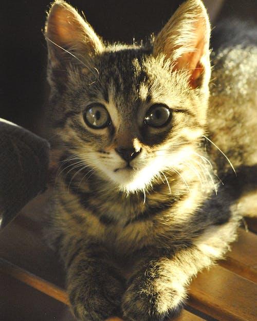 Free stock photo of animal, big eyes, cat