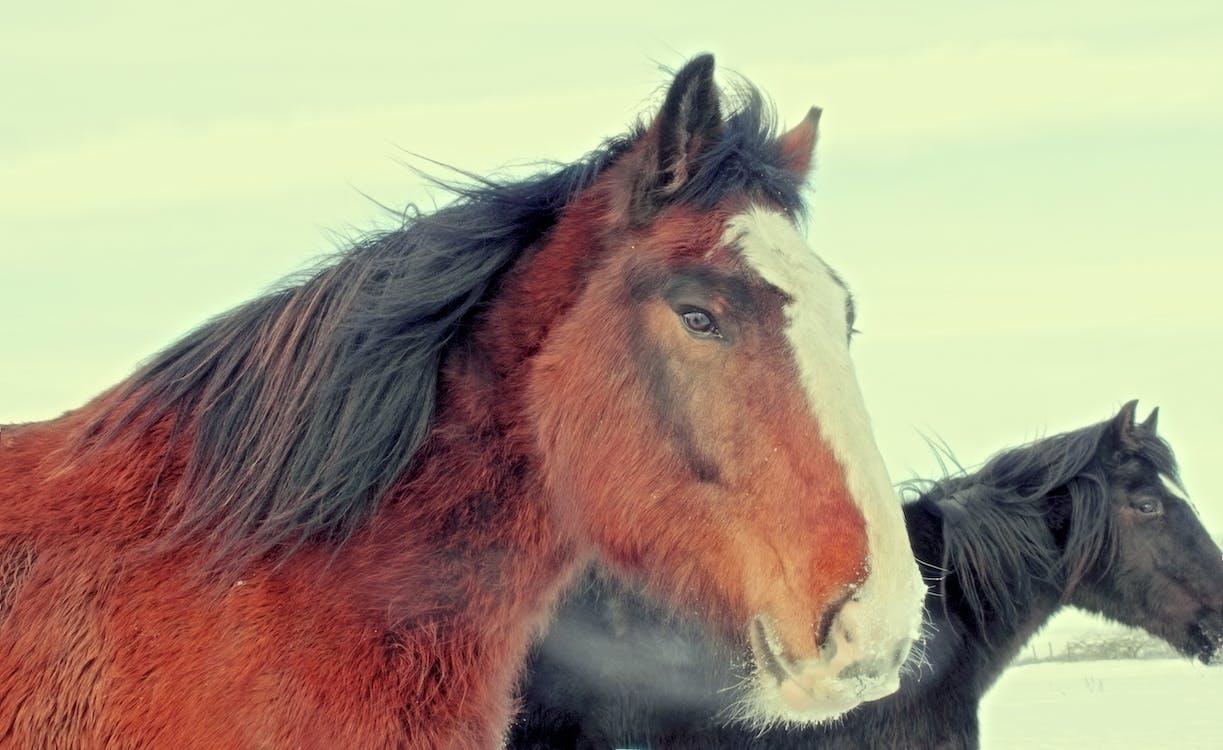 Photos gratuites de brun, cheval, crinière